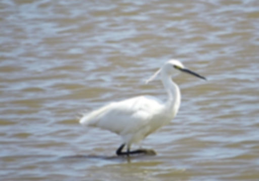 Little Egret 180624-01, Slimbridge, 24_6
