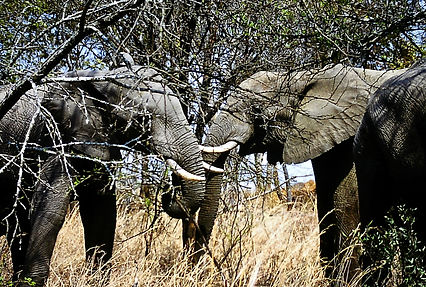 African Elephant 28a, Zimbabwe, 9_98.jpg