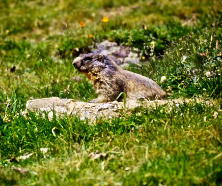 Alpine Marmot 01a, Italy, 8_97.jpg