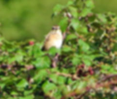 Whinchat 170802a, Chipping Sodbury Commo