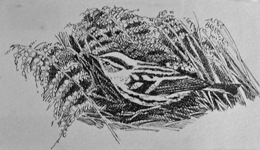 Black-and-white Warbler, LAT 03, St Mary
