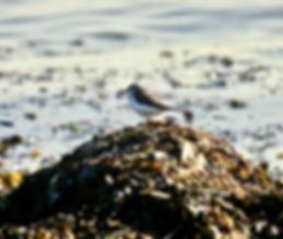 Spotted Sandpiper 01a, St Mary's, 21-10-