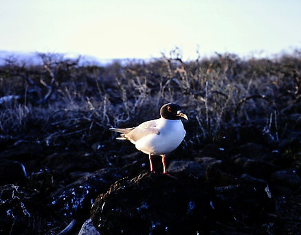 Swallow-tailed Gull 01a, Galapagos, 25-7