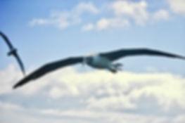 Shy Albatross 37a, Stewart Is NZ, 17-11-