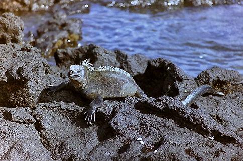 Marine Iguana 24a, Fernandina, Galapagos