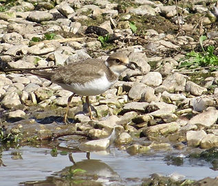 Little Ringed Plover 18913-06, juv, Slim
