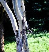 Great Sparrowhawk 01a, Nairobi, 12_88.jp