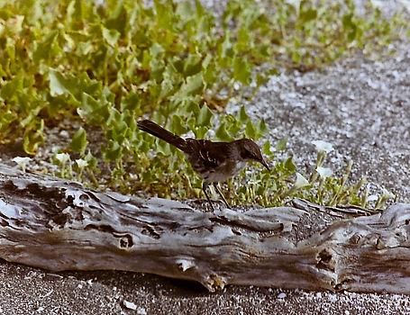 Galapagos Mockingbird 03a, Fernandina, G