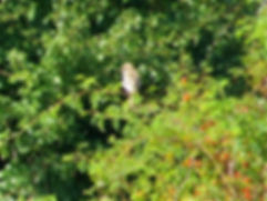 Woodchat Shrike 170802, Chipping Sodbury