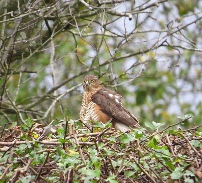 Sparrowhawk 24a, Portishead, 10_11_15.jp