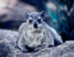 Black-necked Rock Hyrax 07a, Kenya, 12_8