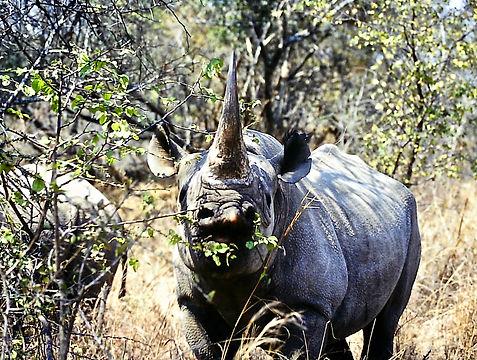 Black Rhinoceros 10a, Zimbabwe, 9_98.jpg