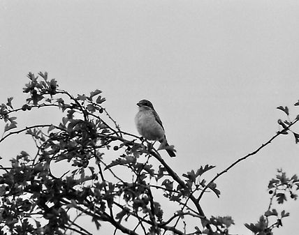 Woodchat Shrike 05a, Pagham, 26_9_76.jpg