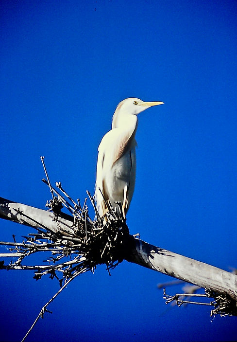 Cattle Egret 04a, Madagascar, 1-11-88.jp