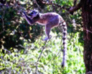 Ring-tailed Lemur 02a, Berenty, Madagasc
