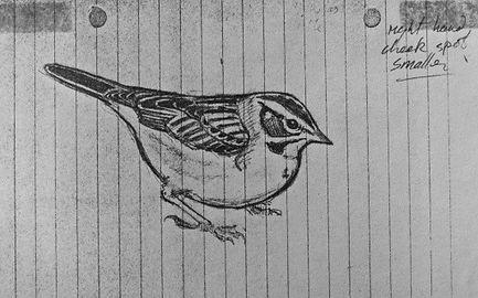 Lark Sparrow LAT04, Landguard Point, 1_7