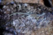Madagascar Spiny-tailed Iguana 04a, Mada