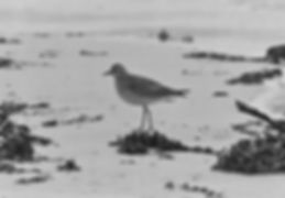 American Golden Plover 17a, St Agnes, 29