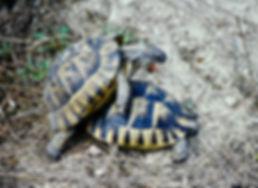 Spur-thighed Tortoise 06a, Turkey, 9_82.