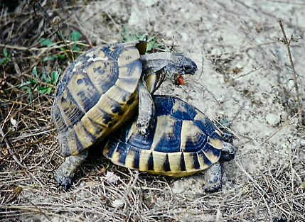 Spur-thighed Tortoise 06a, Turkey, 9_82.