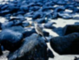 Hood Mockingbird 01a, Hood, Galapagos, 2