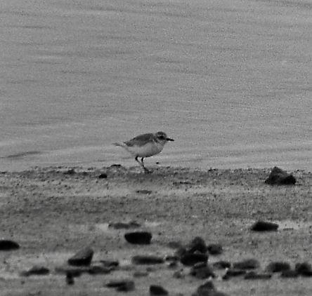 Greater Sandplover 11aa, CVL, 19_11_79.j