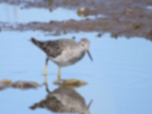 Lesser Yellowlegs 190326-12, Lodmoor.jpg
