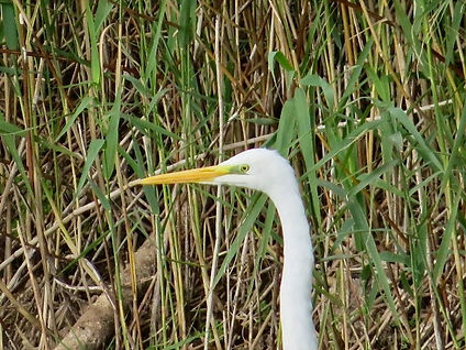 Great White Egret 03, CVL, 13-10-20.jpeg
