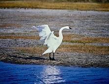 Tundra Swan 02a, Maryland, 10_87.jpg