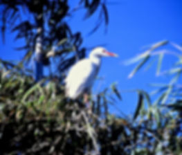 Cattle Egret 01a, Madagascar, 1-11-88.jp