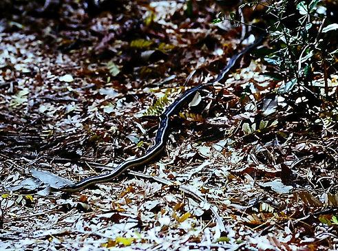 Madagascar Burrowing Snake 01a, Berenty,