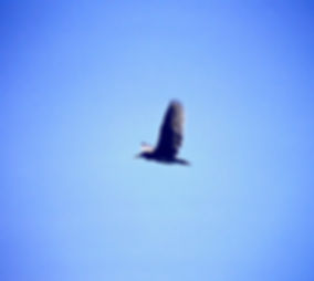 Night Heron 03a, Madagascar, 2-11-88.jpg