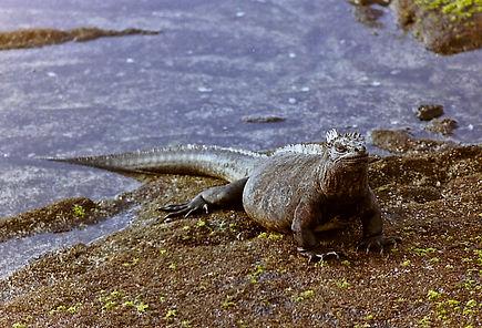 Marine Iguana 35a, Fernandina, Galapagos