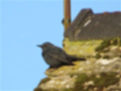 Blue Rock Thrush 08a, Stow-on-the-Wold,
