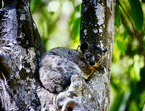 White-footed Sportive Lemur 02, Berenty,