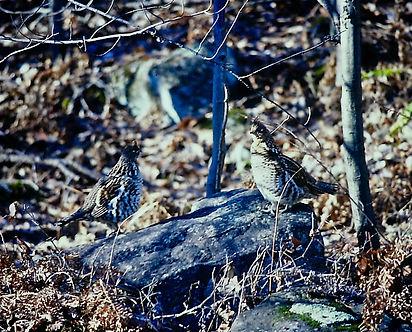 Ruffed Grouse 01a, Ontario, 11_11_87.jpg