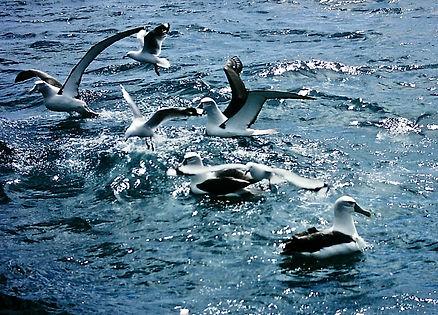 Shy Albatross 06a, Stewart Is NZ, 17-11-