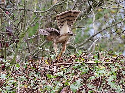 Sparrowhawk 29a, Portishead, 10_11_15.jp