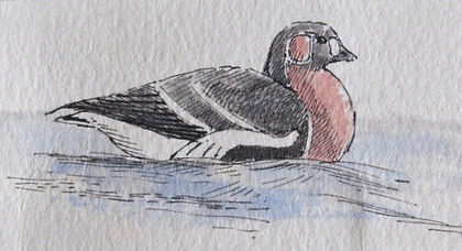 Red-breasted Goose, LAT 01, Leigh-on-Sea