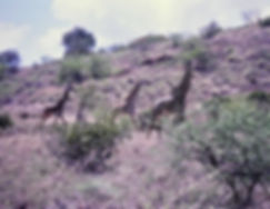 Reticulated Giraffe 04a, Kenya, 4_12_88.