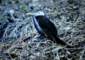 Magnificent Frigatebird 05a, juv, North