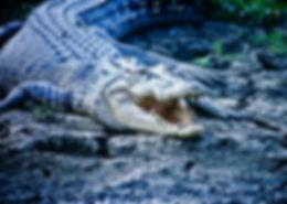 Estuarine Crocodile 04a, Kakadu, 29_11_9