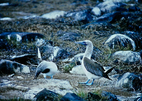 Blue-footed Booby 04a, Hood, Galapagos,