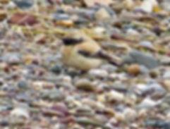 Desert Wheatear 02a, male, SB, 12_12_13.