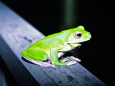 Giant Tree Frog 03a, Cairns, Queensland,
