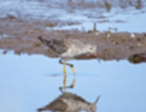 Lesser Yellowlegs 190326-06, Lodmoor.jpg