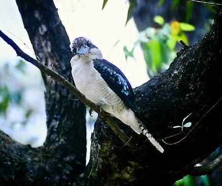 Laughing Kookaburra 01a, NSW, Oz, 4-12-9