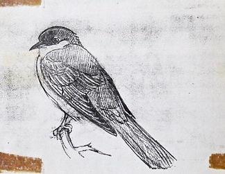 Yellow-billed Cuckoo, LAT 01, St Agnes,