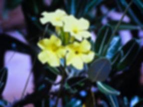 Horombe Clubfoot, Pachypodium horombense