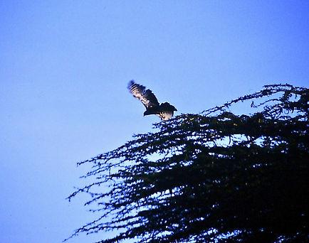 Great Sparrowhawk 02a, Nairobi, 12_88.jp